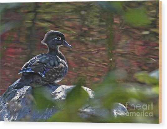 Missy Wood Duck Wood Print by Sharon Talson