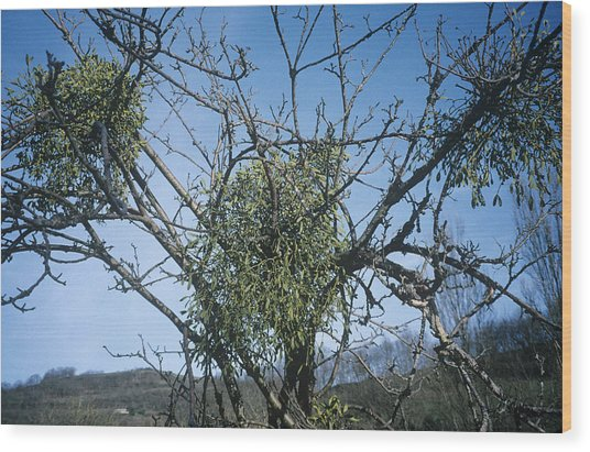 Mistletoe On A Tree Wood Print by Archie Young