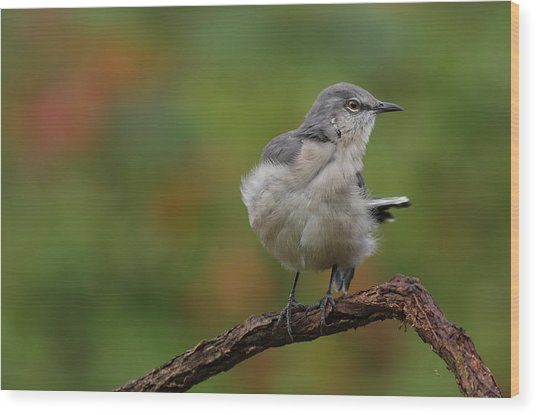 Mocking Bird Perched In The Wind Wood Print
