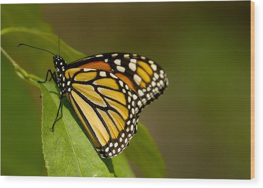 Monarch Beauty Wood Print by Dean Bennett
