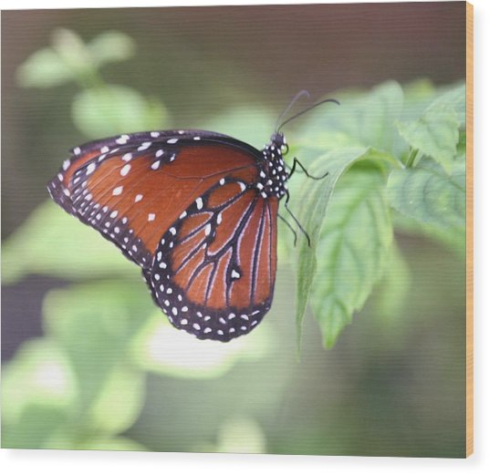 Monarch Butterfly Wood Print by Andrea  OConnell