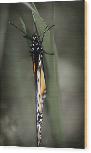 Monarch On A Blade Of Grass Wood Print