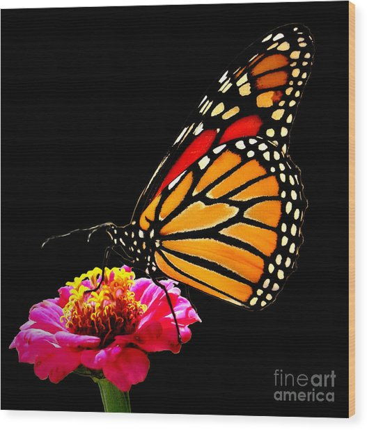 Monarch On Zinnia Wood Print by John From CNY