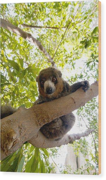 Mongoose Lemur Wood Print