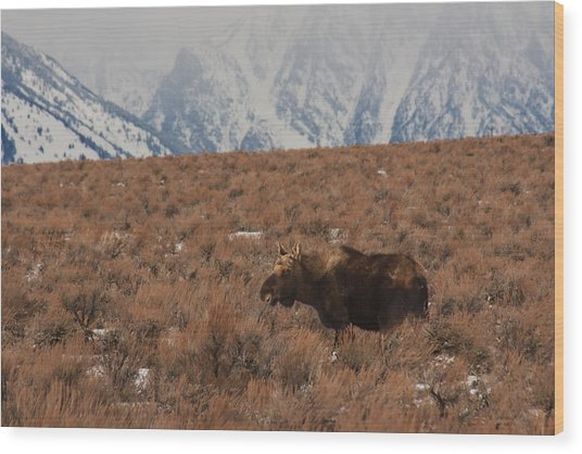 Moose Grand Teton National Park Wood Print
