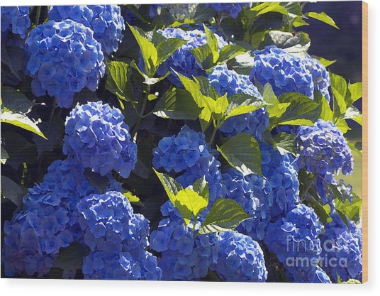 Mophead Hydrangeas Dry Brushed Wood Print by Sharon Talson