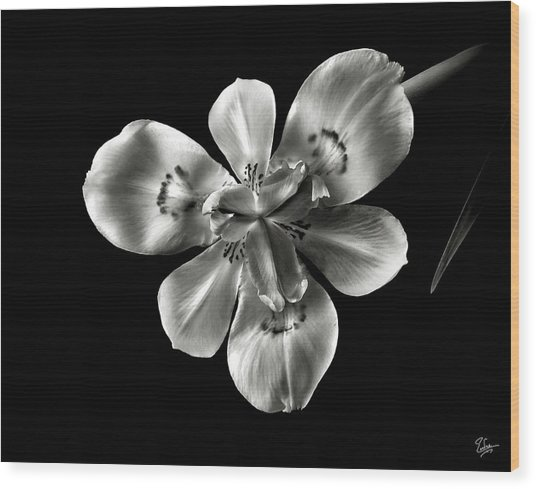 Morea Lily In Black And White Wood Print
