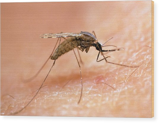 Mosquito On Human Skin, Ready To Bite Wood Print by Dr. Pete Billingsley, University Of Aberdeensinclair Stammers