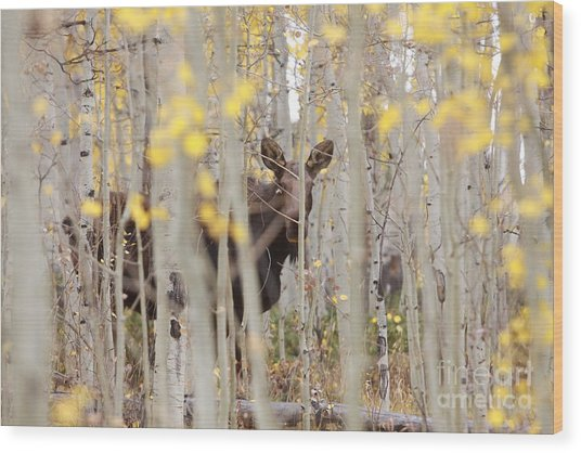 Mother Moose In The Aspens Wood Print