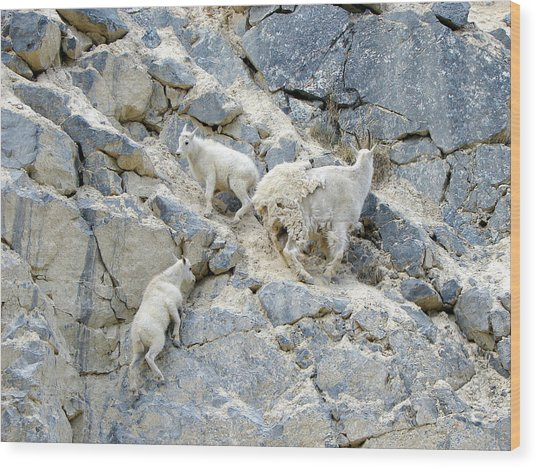 Mountain Goats 2 Wood Print