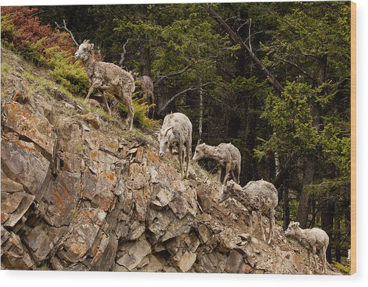 Mountain Sheep 1668 Wood Print by Larry Roberson