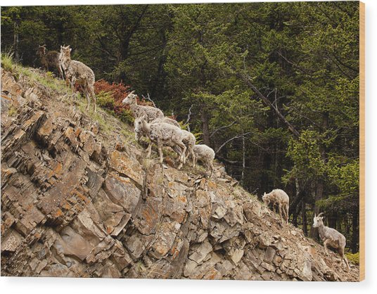 Mountain Sheep 1670 Wood Print by Larry Roberson