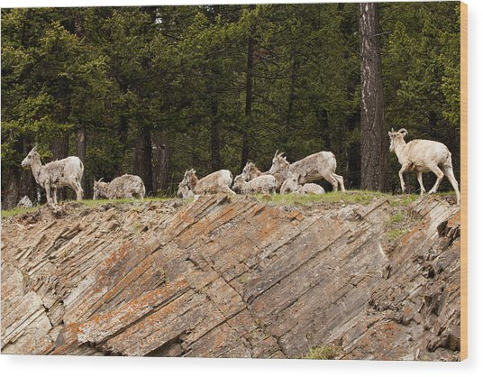 Mountain Sheep 1673 Wood Print by Larry Roberson