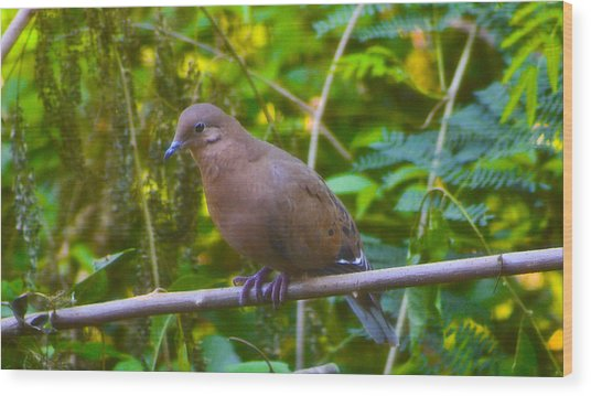 Mourning Dove Cooling Out Wood Print by David Alexander