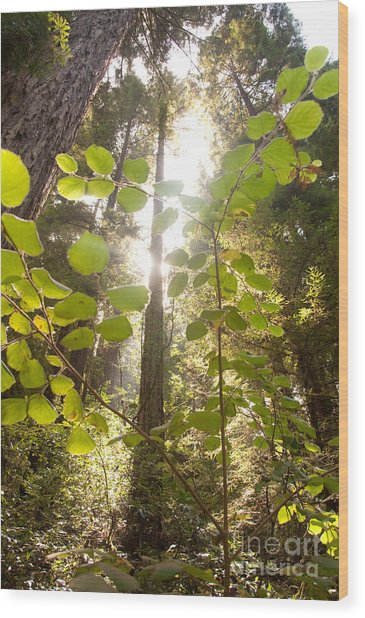 Muir Woods Magic Wood Print by Rossi Love