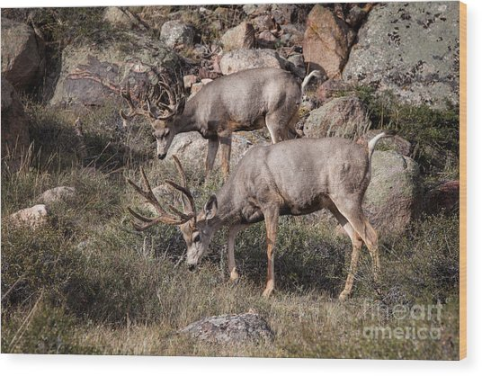 Mule Deer Bucks Wood Print