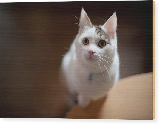 Munchkin Kitten Looking Up Wood Print