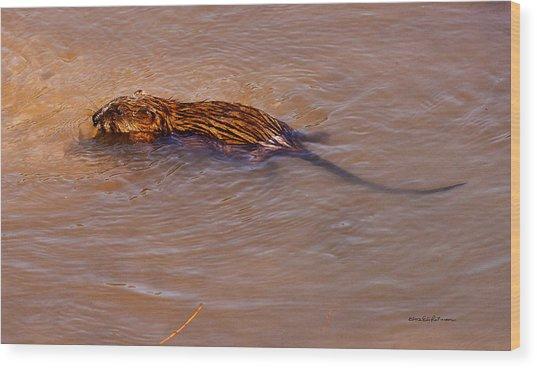 Muskrat Swiming Wood Print
