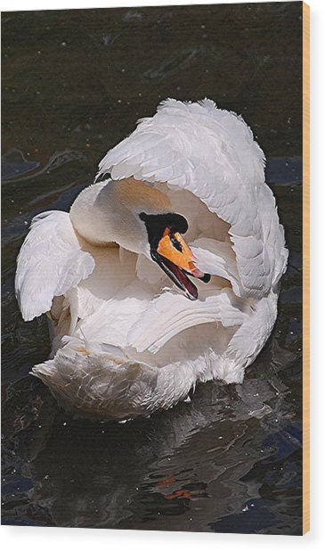 Mute Swan Wood Print by Patricia Tapping