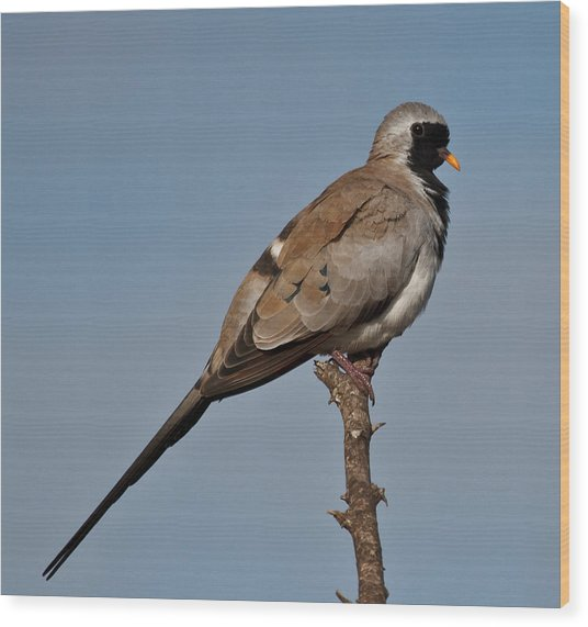 Namaqua Dove Wood Print by Annette Naude