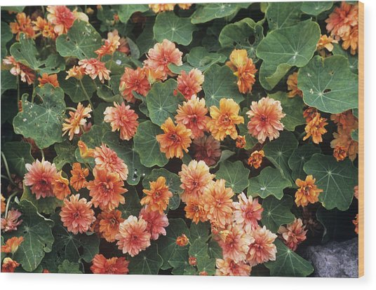 Nasturtium (tropaeolum 'margaret Long') Wood Print by Adrian Thomas