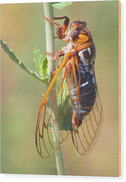 Noisy Cicada Wood Print