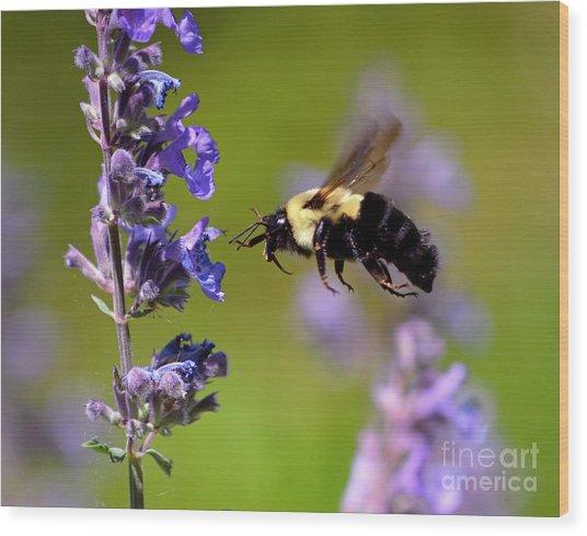 Non Stop Flight To Pollination Wood Print
