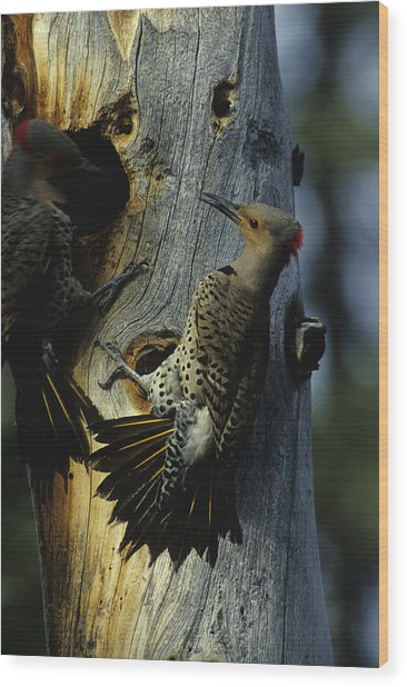 Northern Flickers Fight Over Nesting Wood Print