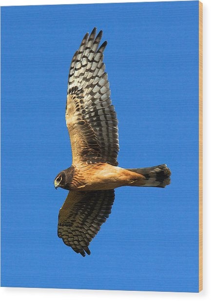 Northern Harrier Hawk Wood Print