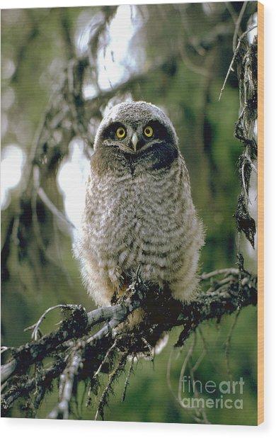 Northern Hawk Owl Fledgeling Wood Print
