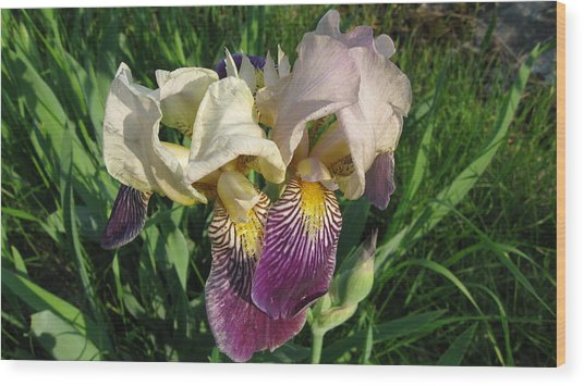 Northern Iris  Wood Print by Waldemar Okon