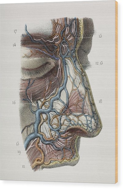 Nose Nerves And Vessels, 1844 Artwork Wood Print by