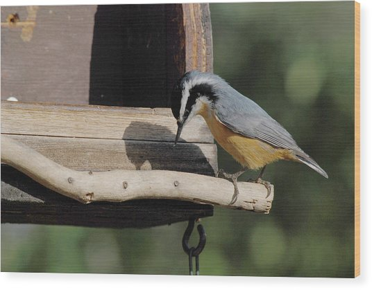 Nuthatch Opening Sunflower Seed Wood Print