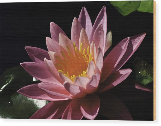 Nymphaea 'sunny Pink' Wood Print