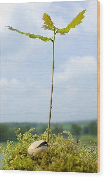 Oak Sapling (quercus Robur) Wood Print by Georgette Douwma
