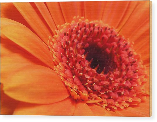 Orange Gerbera Close Up Wood Print