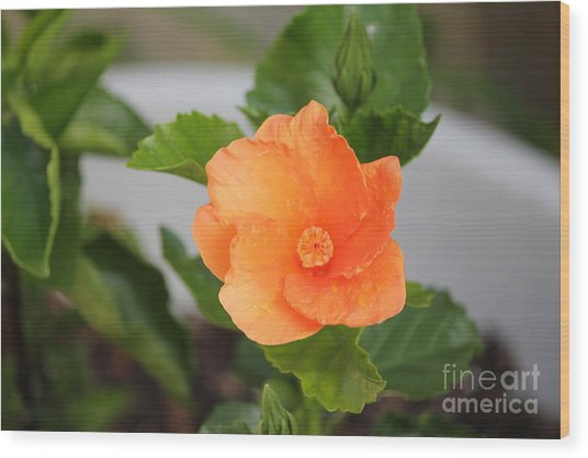 Orange Hibiscus Wood Print