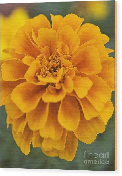 Orange Marigold Wood Print