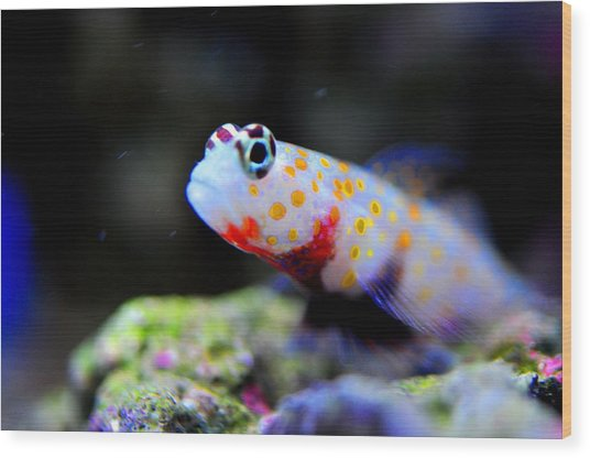 Orange Spotted Shrimp Goby Wood Print