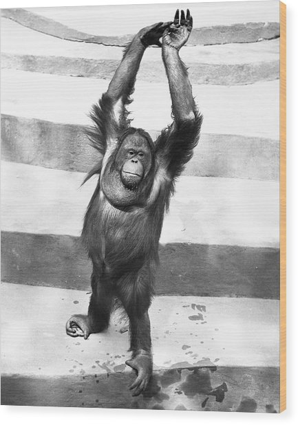 Orangutan W/arms Up Wood Print by George Marks