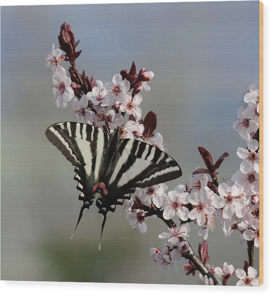 Ornamental Plum Blossoms With Zebra Swallowtail Wood Print