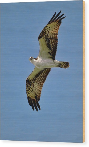 Osprey Above Wood Print