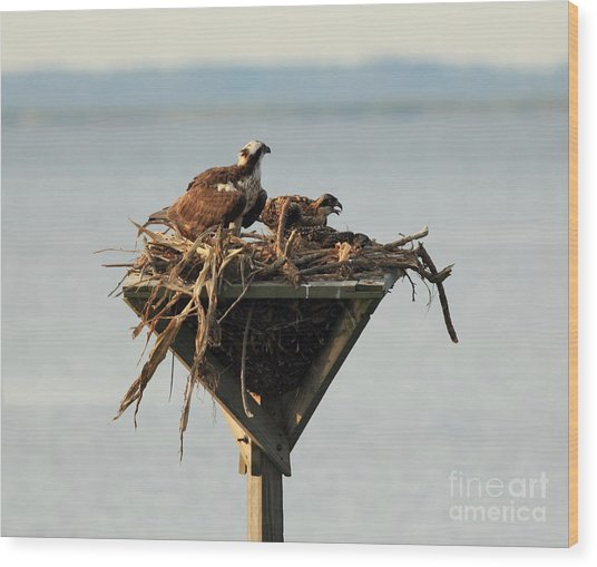 Osprey And Chicks Wood Print