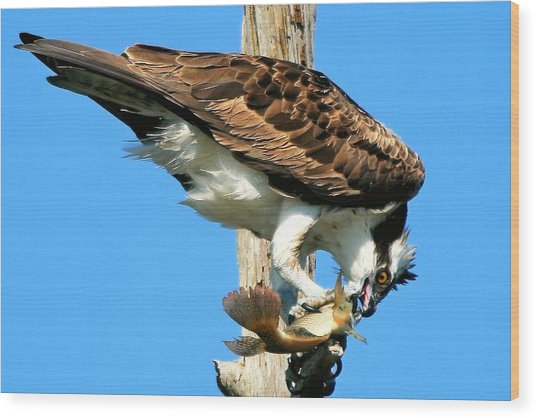 Osprey Eating A Fish Wood Print