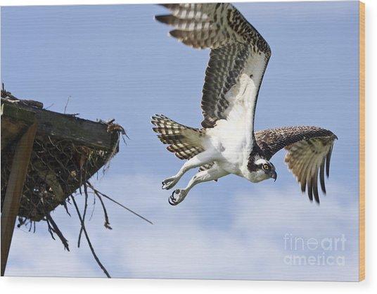 Osprey Flying From Nest Wood Print by John Van Decker