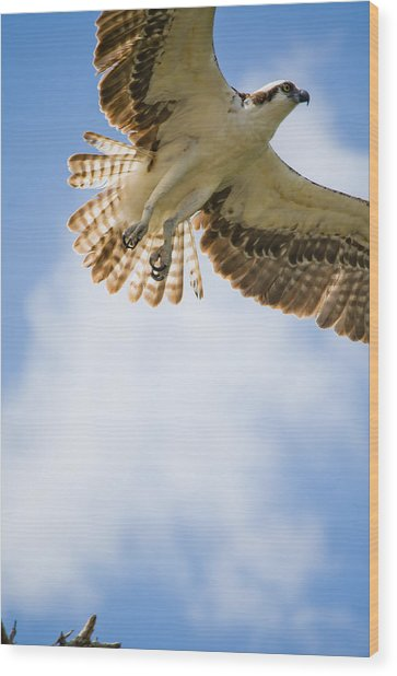 Osprey Wood Print by Mike Rivera