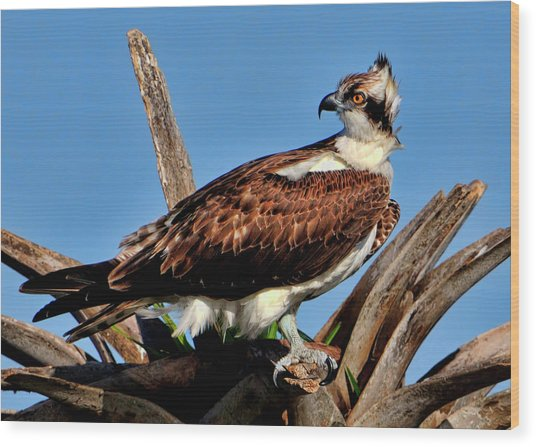 Osprey On A Windy Morning Wood Print