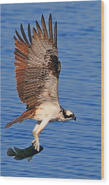 Osprey With A Fish Wood Print