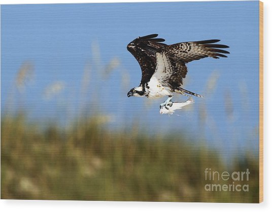 Osprey With Fish Wood Print by Rick Mann