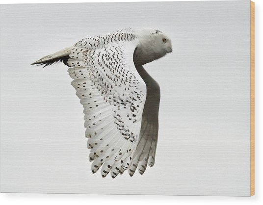 Owl In Flight Wood Print by Pierre Leclerc Photography